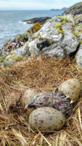 A hatching Greater Black-backed gull chick