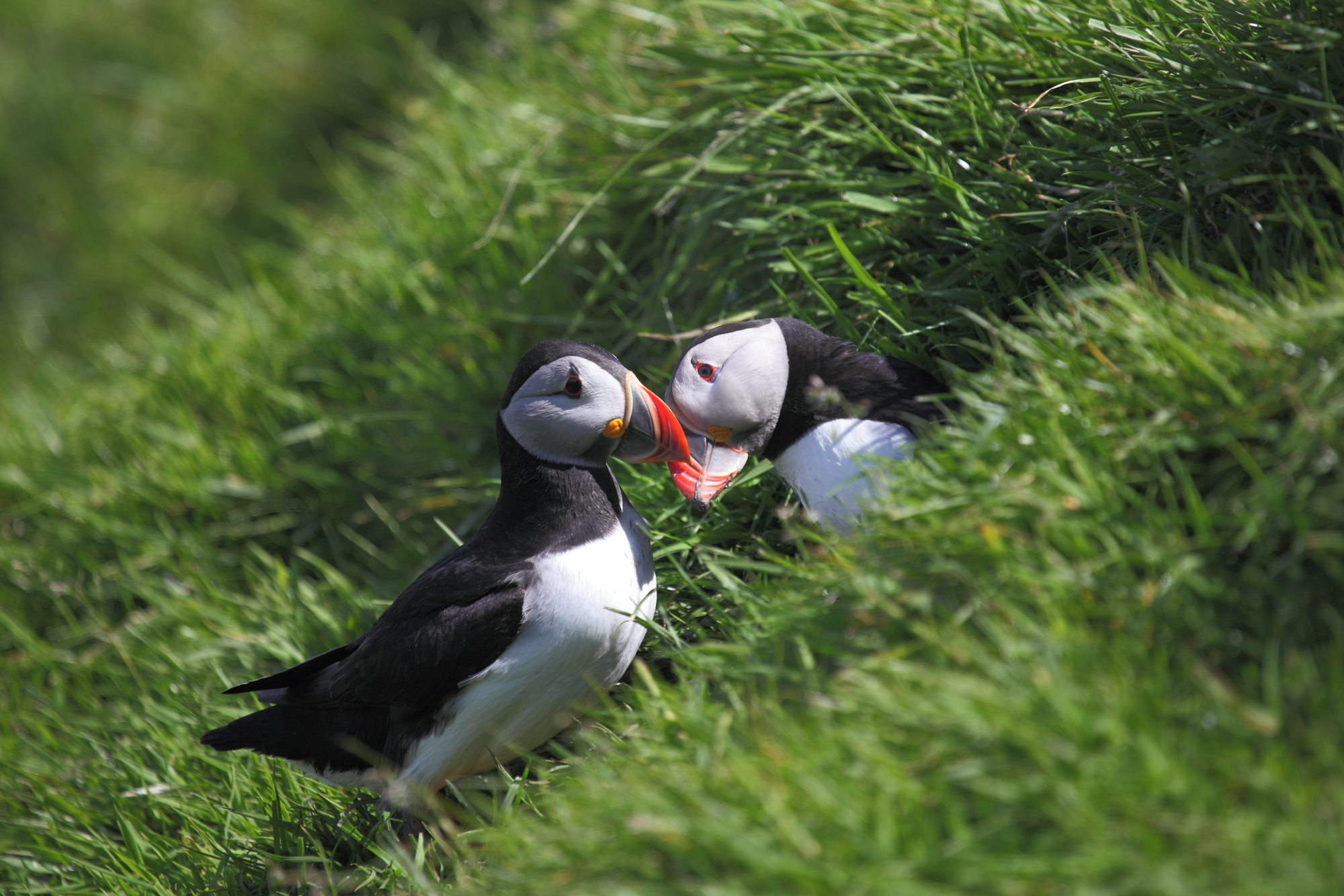 Puffins - Shiant Isles - photo Charlie Main