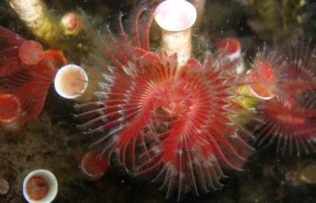 Close up of a serpulid reef