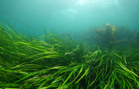 Seagrass in the Sound of Barra (photo – Scottish Natural Heritage)