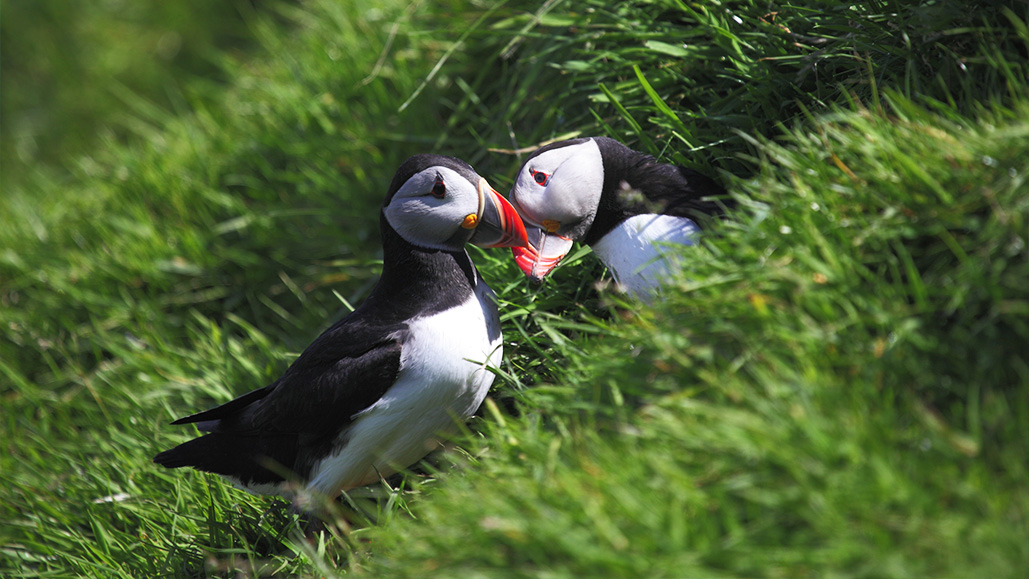 Puffins at the Shiant Isles (Photo - Charlie Main)