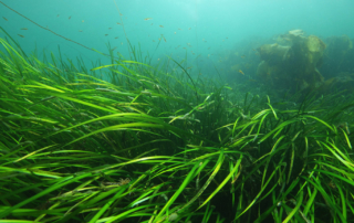 Seagrass in the Sound of Barra